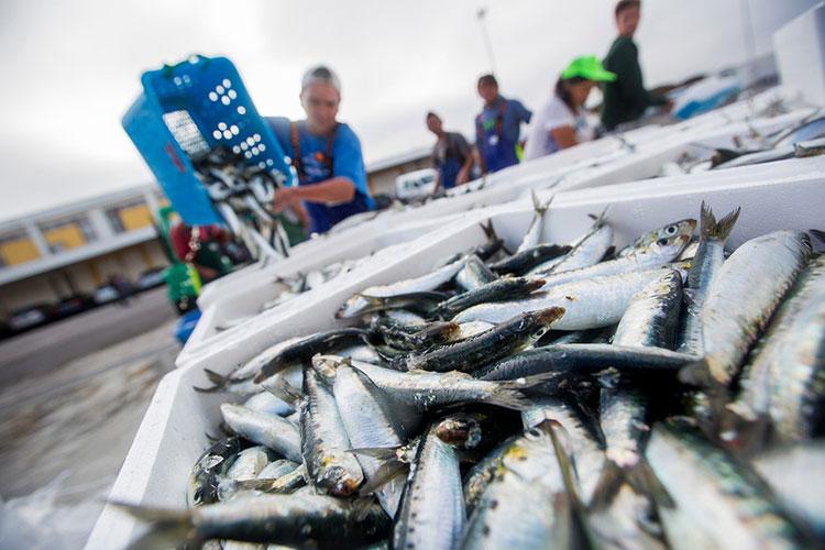 Rui Duarte Silva, http://expresso.sapo.pt/economia/2017-10-20-Pesca-da-sardinha.-Captura-zero-em-2018--E-um-insulto-dizem-os-pescadores (a 7/3/2018)